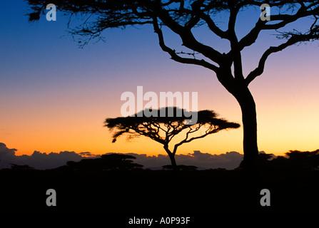 Acacia trees in the Serengeti National Park, Tanzania, Africa