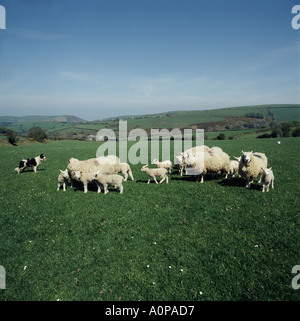 Sheep dog controlling lambs and sheep on Exmoor Somerset Exmoor Horn sheep and blue faced Leicester ram - Stock Photo