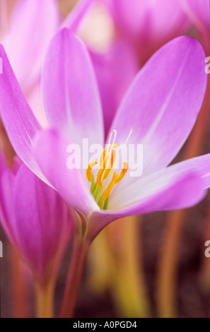 Colchicum autumnale or Autumn crocus close up England UK - Stock Photo
