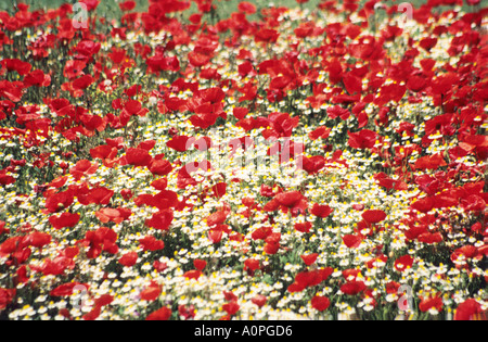 POPPIES AND DAISIES - Stock Photo