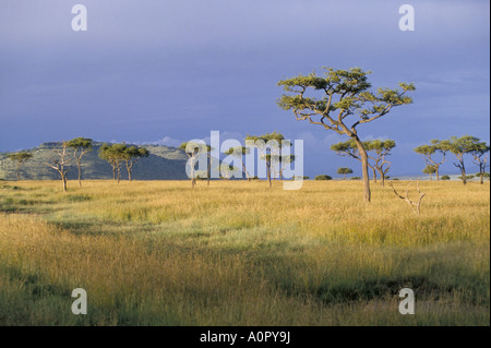 Umbrella acacia trees Masai Mara Kenya East Africa Africa - Stock Photo