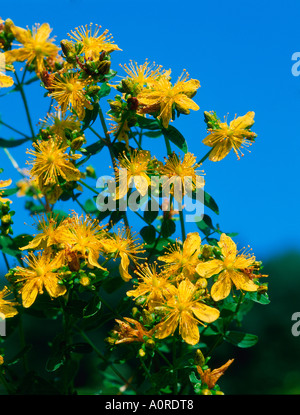 St. John's Wort - Stock Photo