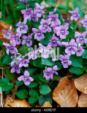 Heath Dog Violet - Stock Photo
