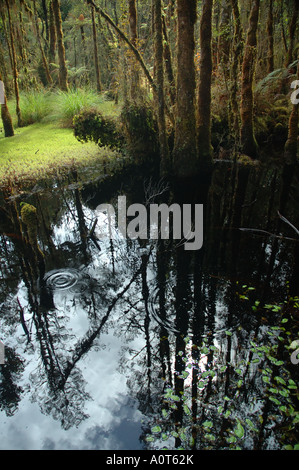 Tannin stained waters of a swamp in an ancient podocarp forest near Haast south island New Zealand - Stock Photo