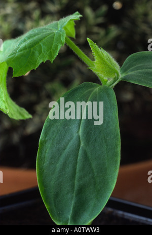Cucumis sativus 'Tiffany' F1 Hybrid. Young cucumber plant showing seed leaves and true leaves. - Stock Photo