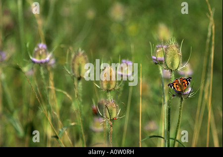 A Painted Lady (Vanessa cardui) butterfly rests on a thistle - Stock Photo