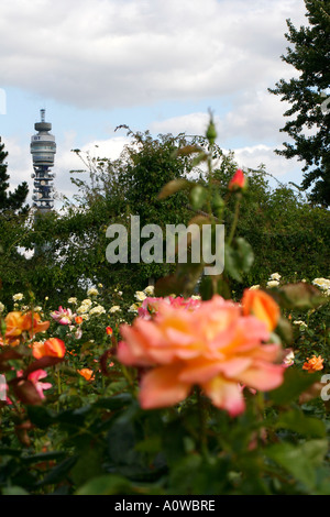 rose in rose garden, Inner Circle, Regents Park , London, with the BT tower in the background - Stock Photo