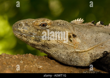 Sonoran Spiny-tailed Iguana - Ctenosaura hemilopha macrolopha - Sonoran desert - Arizona - introduced in Arizona - Stock Photo