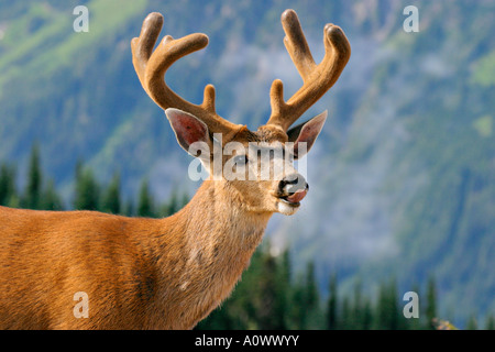 Blacktail mule deer in velvet during summer on high alpine meadow Olympic National Park Washington USA - Stock Photo