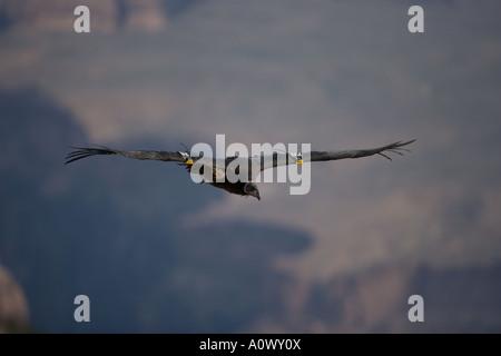 California Condor Gymnogyps californianus Arizona - Stock Photo