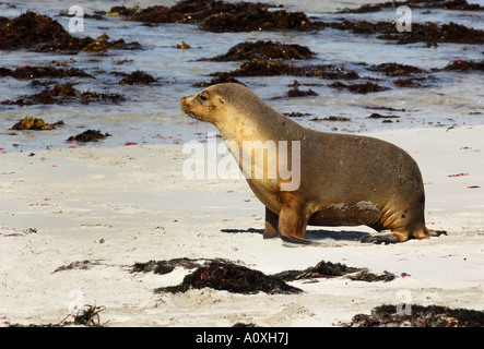 Australian Sea Lion (Neophoca cinerea), Seal Bay, Kangaroo Island, Australia - Stock Photo