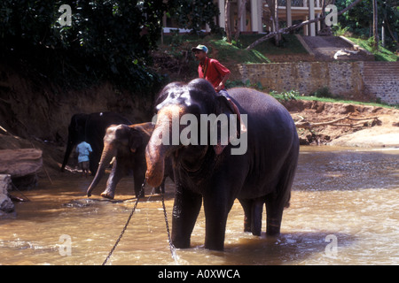 Elephants at the Pinnawela Elephant Sanctuary in Sri Lanka. - Stock Photo