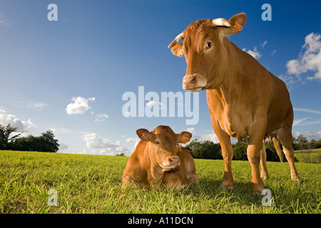 Limousin cow calf to foot (Bos taurus domesticus). France. Vache et son veau (Bos taurus domesticus) de race Limousine. - Stock Photo