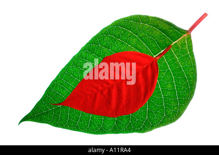 Red and Green Dahlia leaves - Stock Photo