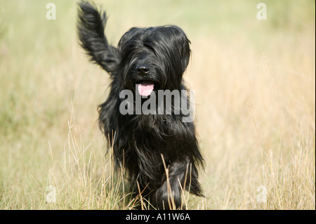 briard black dog running in field with tongue showing blurred action released - Stock Photo