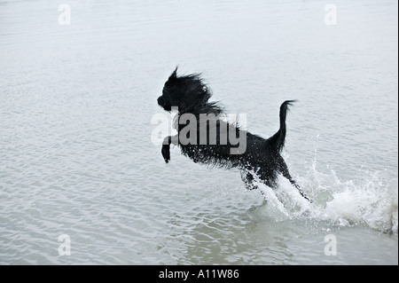 briard black dog leaping out of water while running released - Stock Photo