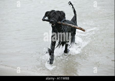 briard black dog running through water while carrying a wooden stick released - Stock Photo