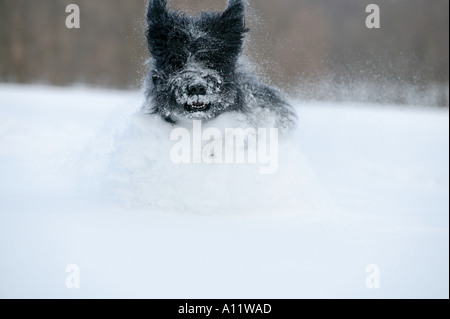 briard black dog running and jumping in very deep snow released - Stock Photo