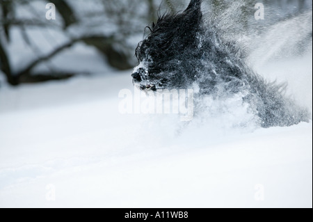 briard black dog running and jumping in very deep snow blurred action released - Stock Photo