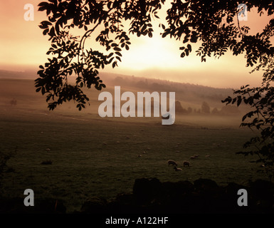 Early morning as the sun comes up over the sheep grazing in a field with the mist in a cotswold valley, at Chedworth - Stock Photo