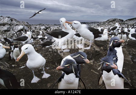 Black browed albatross and rockhopper penguins Steeple Jason Island Falklands - Stock Photo