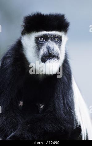 Black and white colobus monkey Elsamere Kenya - Stock Photo