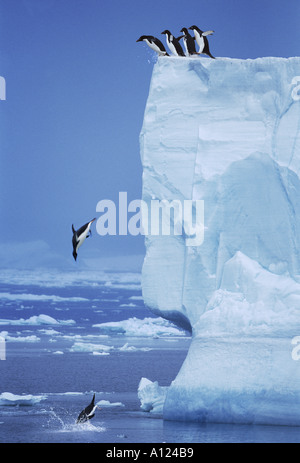 Adelie Penguins jumping off iceberg Antarctica - Stock Photo