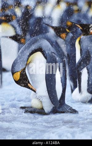 King Penguin checking egg Antarctica - Stock Photo