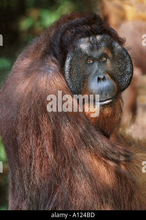 Mature male orangutan Tanjung Puting Borneo - Stock Photo