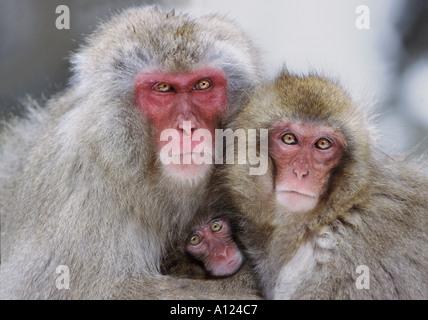 Snow monkey family Jigokudani National Park Japan - Stock Photo