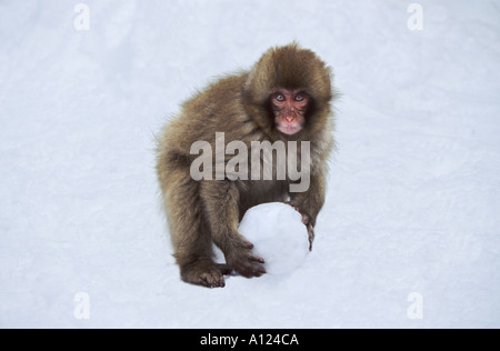 Japanese macaque snow monkey with snowball Jigokudani Japan - Stock Photo