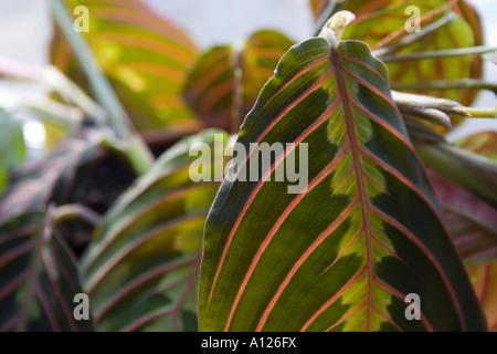 leaves of maranta leuconeura erytrophylla - Stock Photo