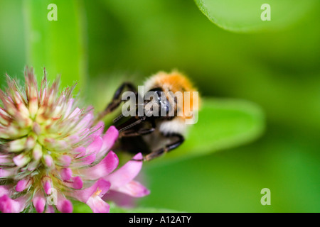 a bumblebee (bombus agrorum) sitting on a flower of a pink clover (trifolium pratense) - Stock Photo