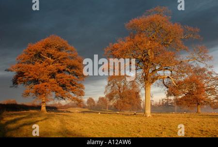 Sheep graze under mature oak trees - Stock Photo