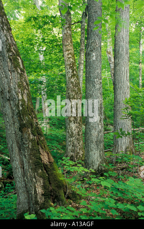 Sugar Maples, Acer saccharum, in an old growth hardwood forest in The Bowl Natural Area Part in NH's White Mountains. - Stock Photo