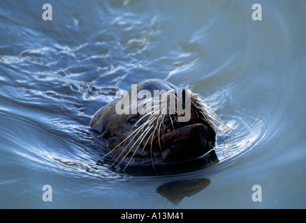 CA San Francisco Fisherman s Wharf Sea Lion swimming with nose above water - Stock Photo