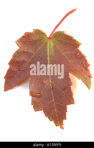 Isolated high key image of a fallen maple leaf in autumn colours - Stock Photo