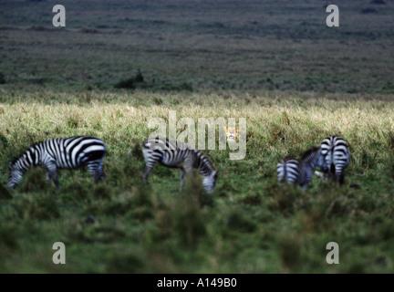 Lioness stalking zebras Masai Mara Kenya - Stock Photo