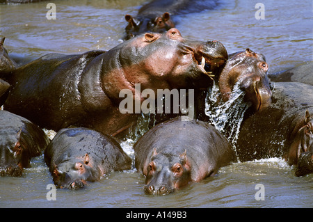 Hippos fighting Masai Mara Kenya - Stock Photo