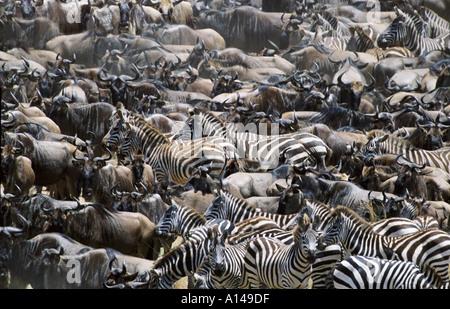 Wildebeest and zebra during the Great Migration Masai Mara Kenya - Stock Photo