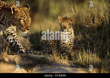 Leopard with her cub South Africa - Stock Photo