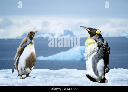 King penguins moulting Antarctica - Stock Photo