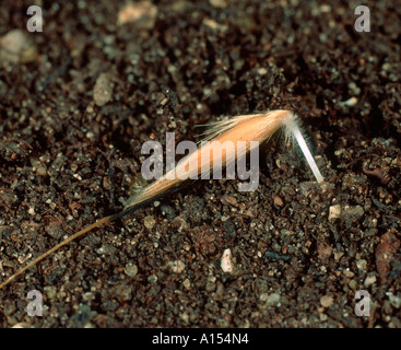 Wild oat Avena fatua seed beginning to germinate and embed itself in the soil - Stock Photo