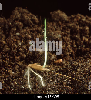 Wild Oat Avena fatua seedling penetrating the soil with its roots - Stock Photo