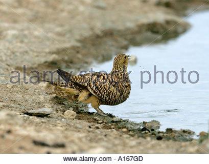 Namaqua Sandgrouse-Pterocles namaqua drinking at waterhole in the Karoo, South Africa - Stock Photo