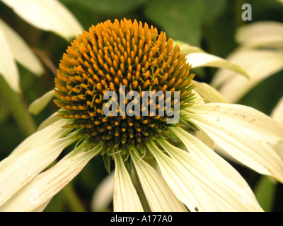 Echinacea paradoxa White Swan White variety of the coneflower - Stock Photo