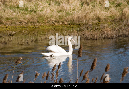 Mute Swan (Cygnus olor) male patrolling the lake while female sitting on eggs Norfolk, England UK - Stock Photo