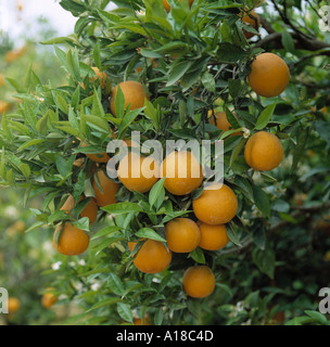 RipeValencia  oranges and flowers on the tree in orchard near Valencia Spain - Stock Photo