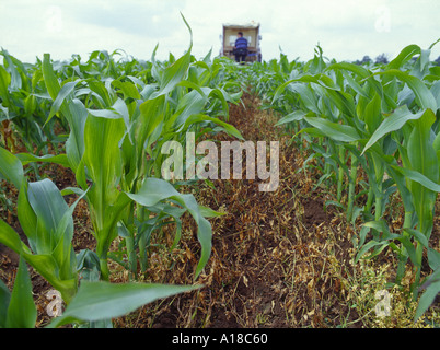 GM Transgenic maize corn in field trial showing ground and mature maize plus tractor in distance Image shows advantage - Stock Photo