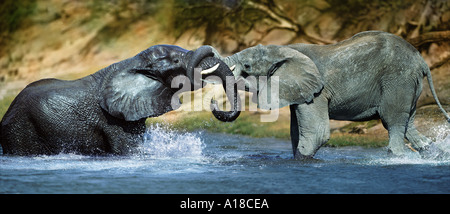 Elephants sparring in the water Chobe River Botswana - Stock Photo